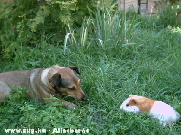 Kutya és tengerimalac 1