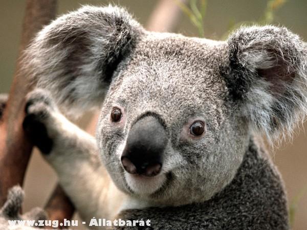 Koala maci
