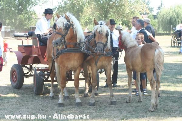 Csodaszép lovak a 2009 aug 20-i szentesi fogathajtó versenyrõl