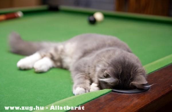 A cica keresi a golyókat