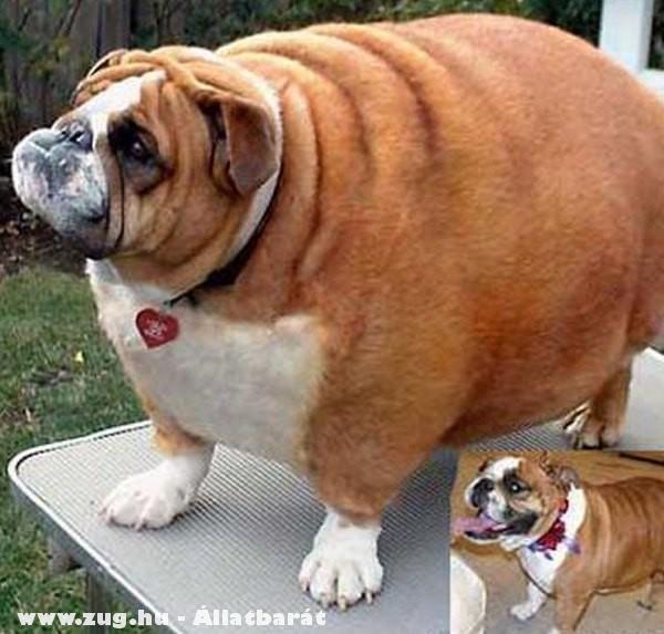 Elhízott / dagi kutyus