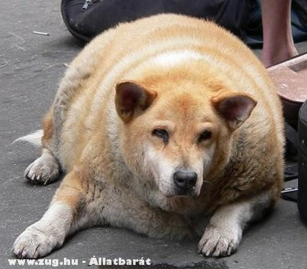 Elhízott kutyus