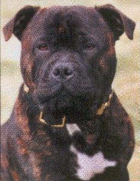 Amerikai staffordshire terrier :-)