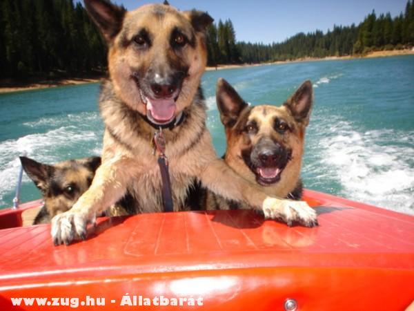Németjuhász kutyák a motorcsónakban