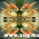 Tükör aranyhalak