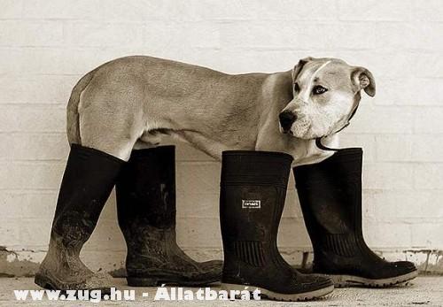 Csizmás kutya