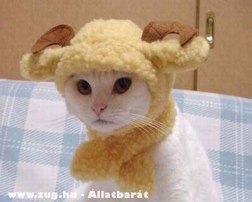 Bölény cica
