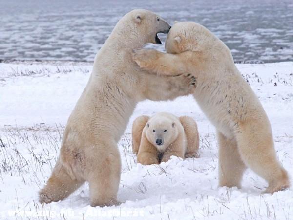 A jeges medvèk