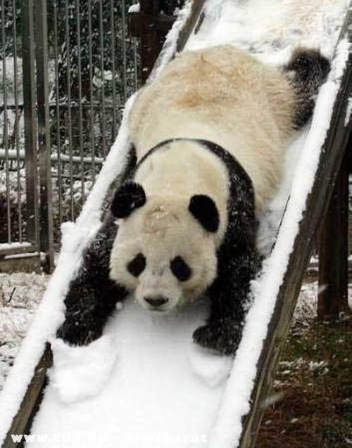 Panda a csúszdán