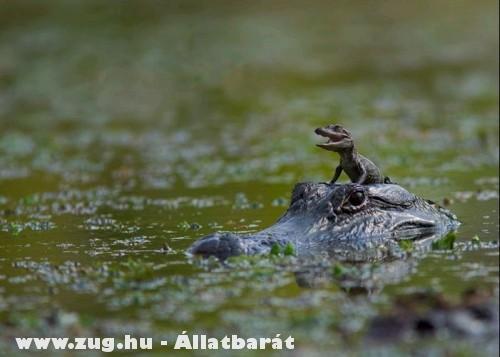 A kis krokodil és az anyukája
