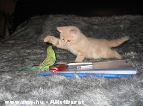 Papagáj és cica játéka