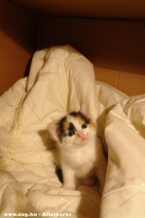 Õ itt Müzli, az örökbeadandó kiscicák egyike, kislány cicus