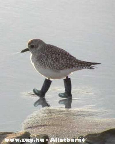 Óvatos madár