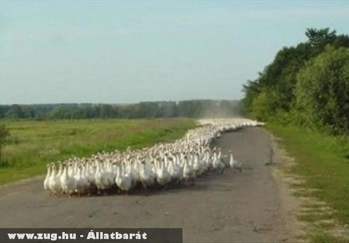 Hosszú tömött libasor