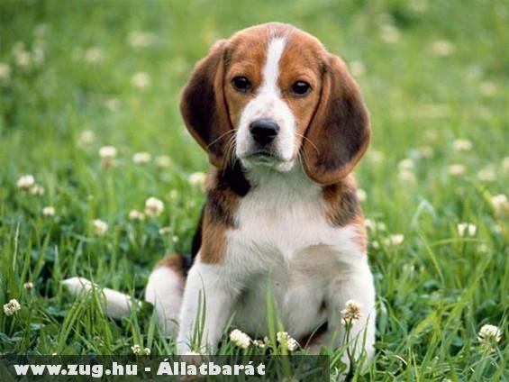 Beagle kutyus