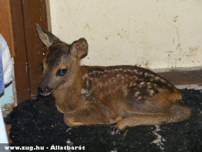 Bambi 2 hetes