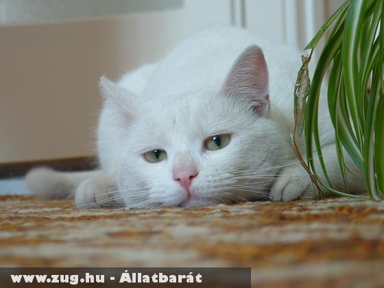 Szomoru feher cica