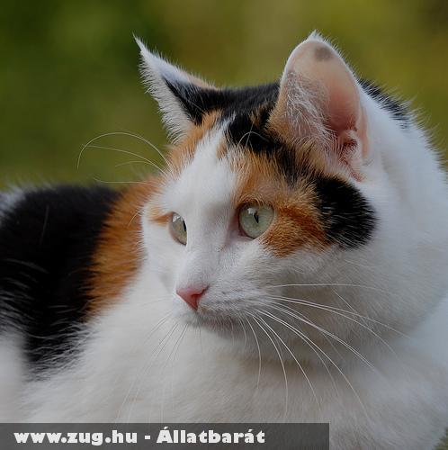 Tarka cica