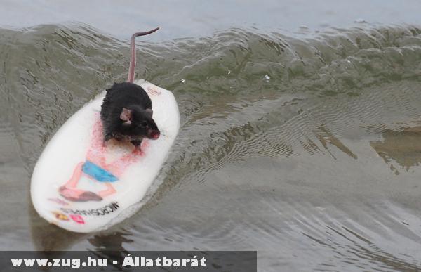 Szörfözõ kisegér