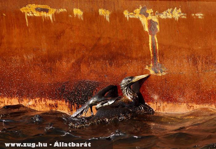 Az olajszennyezés egyik áldozata