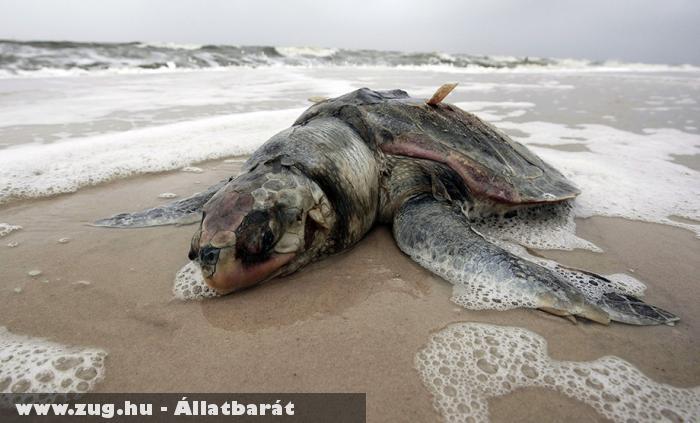 Elpusztult teknõs Mexikó partjainál
