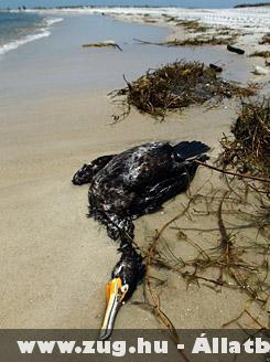Olajszennyezésben elpusztult madár