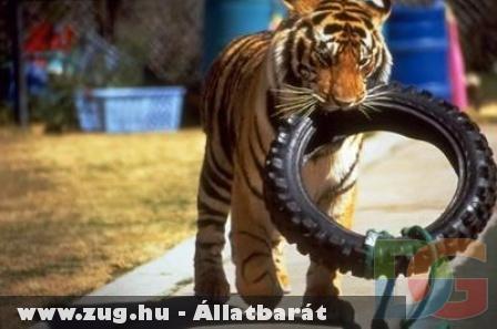 Tigris gumival a szájában