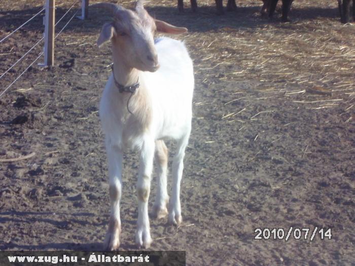 egy kecske aki az etetésre vár és azt mondja-gyerünk már kétlábúak nem várhatok örökké!