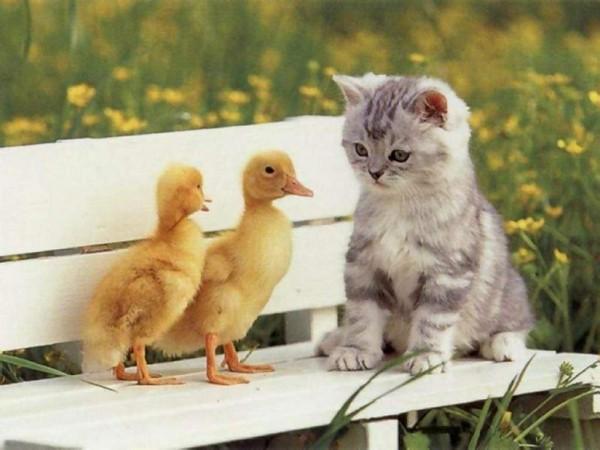Cica és kacsák