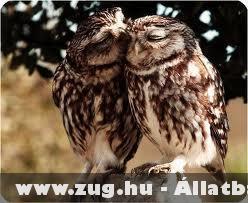 Szerelmes baglyok