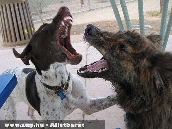 Kutyajátékból lesz a kutyás baleset?!