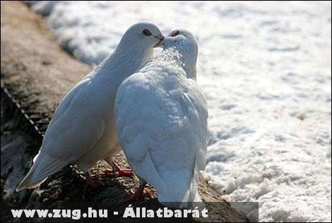 Szerelmes galambok