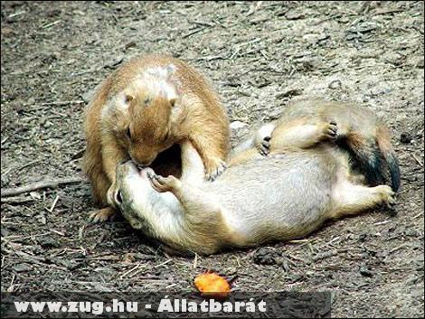 Csókolózó mókusok