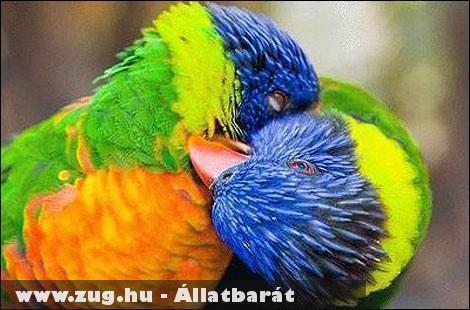 Papagáj csók