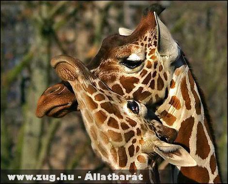 Zsiráfok egymás között