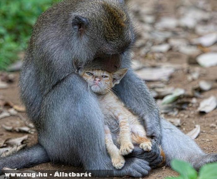 Cica szeretõ makákó
