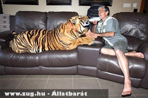 Panjo gazdájával a kanapén - bengáli tigris