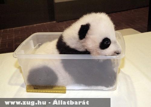 Csöppnyi panda