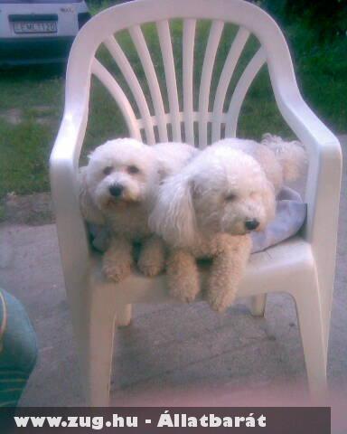 Két fehér kutya