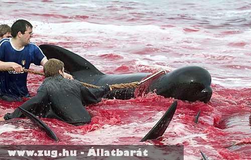 Tradicionális bálnagyilkolás Dániában
