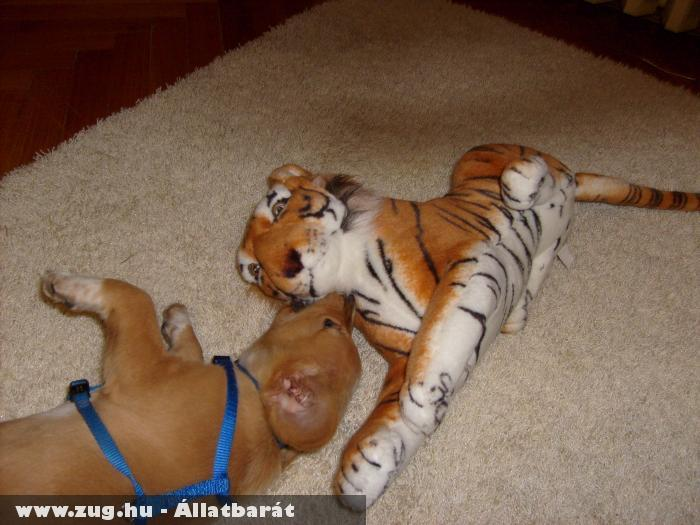 Dumbó(prücsi) és tigris