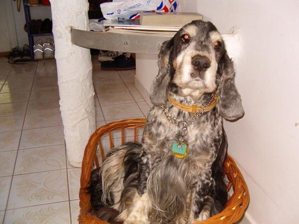 Maxi spániel 11 éves.