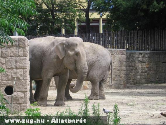 A fõvárosi állatkert elefántja