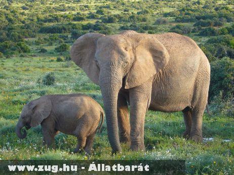 Afrikai elefánt
