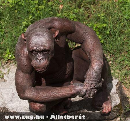 Csupasz majom