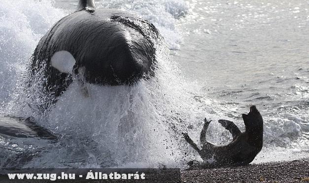 Fókára vadászik a gyilkos bálna