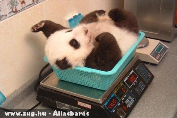 Mennyit nyom egy kis panda?