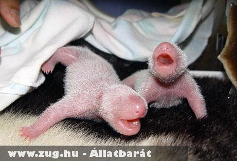 Újszülött pandák