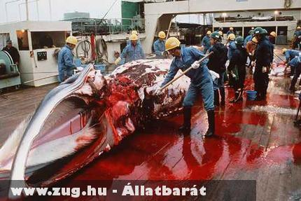Véres bálnafeldolgozás
