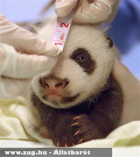 Pandabébi